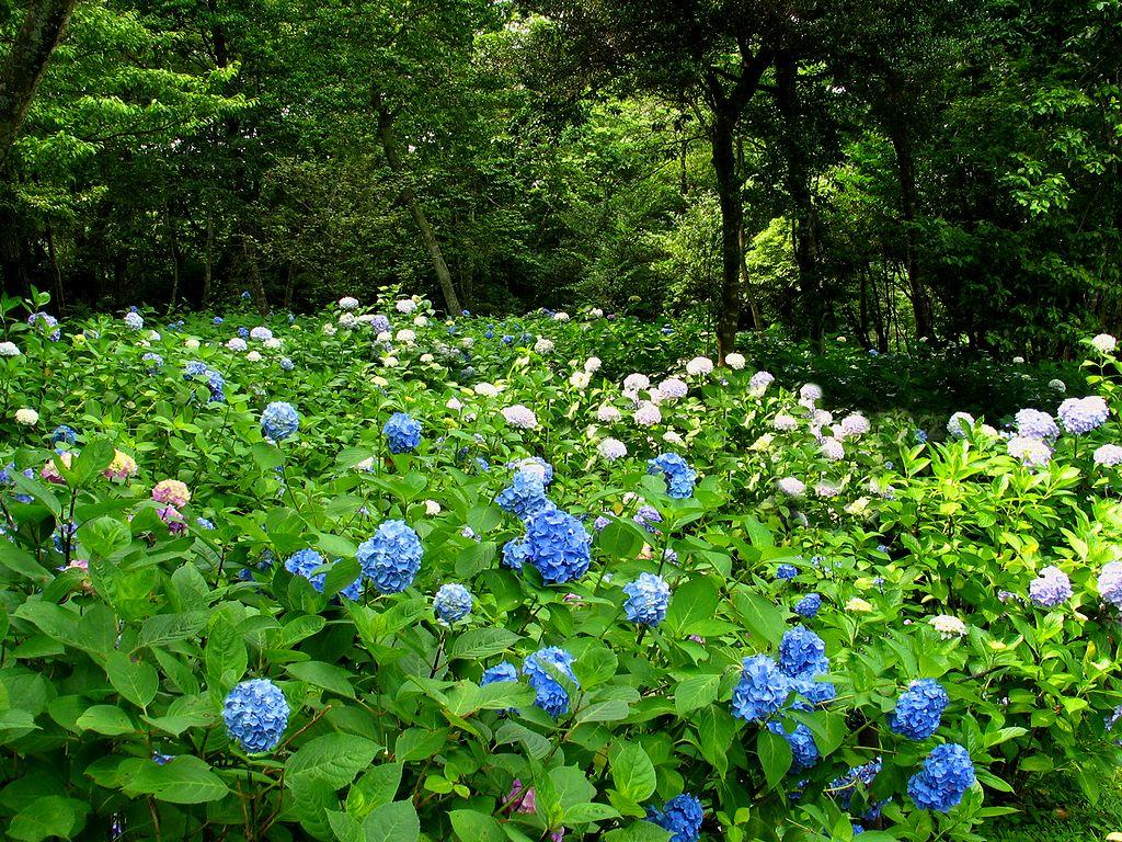 あじさいと緑の森・あじさいの壁紙・初夏の壁紙写真/初夏の花風景写真無料写真素材