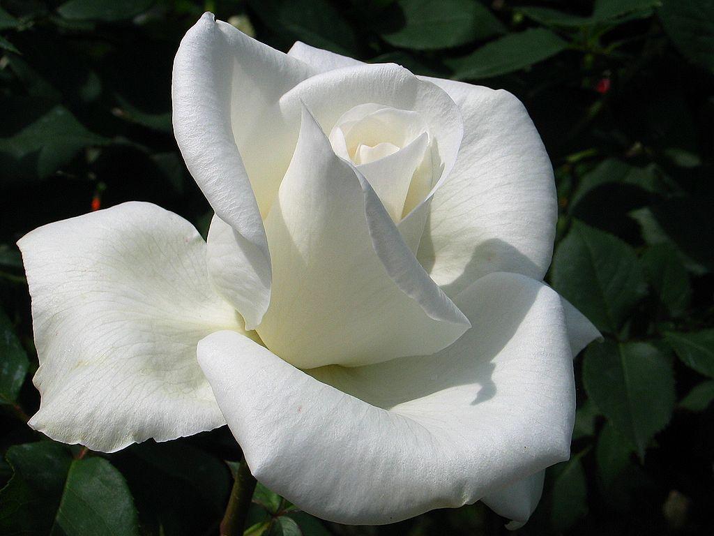 バラの花・初夏の壁紙写真/初夏の花風景写真無料写真素材