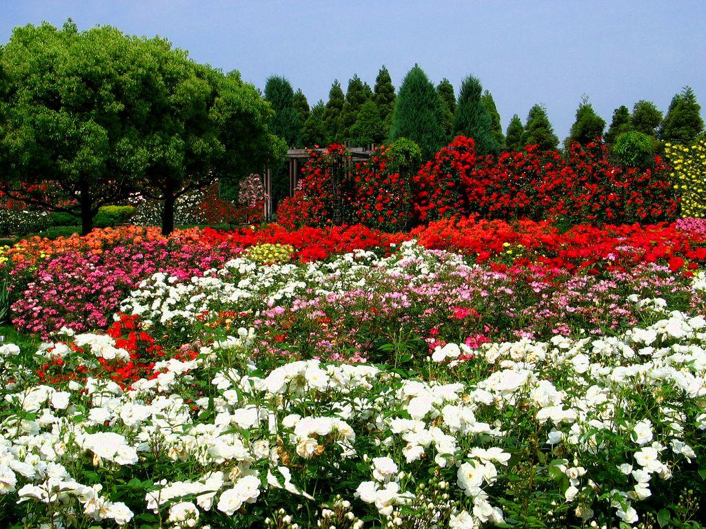 バラ園・バラの花・初夏の壁紙写真/初夏の花風景写真無料写真素材