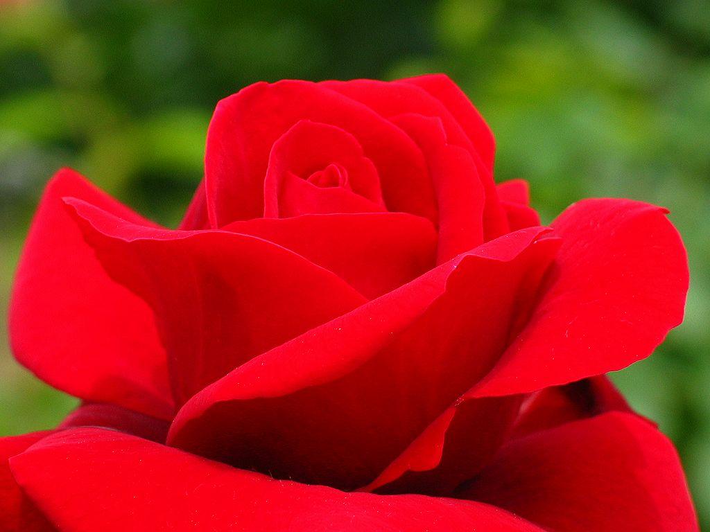 薔薇の画像 p1_26