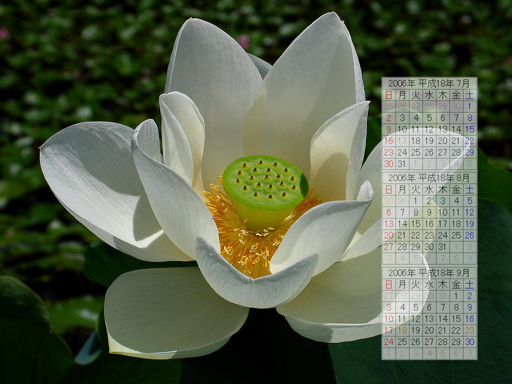 蓮(ハス)の花/初夏の壁紙写真/2006年無料壁紙カレンダー・無料写真素材