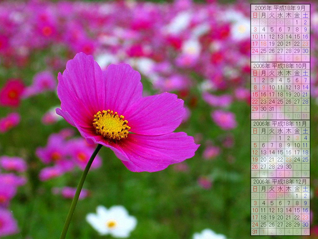 コスモスの花・コスモス畑/秋の花 デスクトップ壁紙カレンダー2006年・無料写真素材