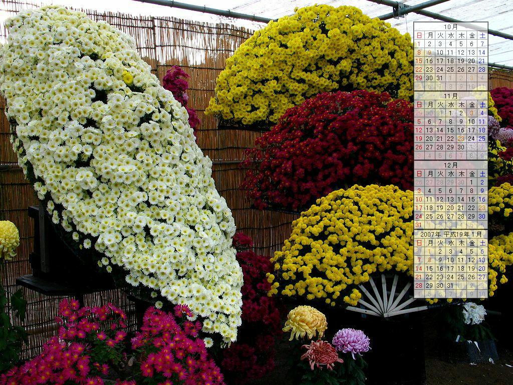 菊の花壁紙写真/2006年秋のデスクトップ無料壁紙カレンダー・無料写真素材