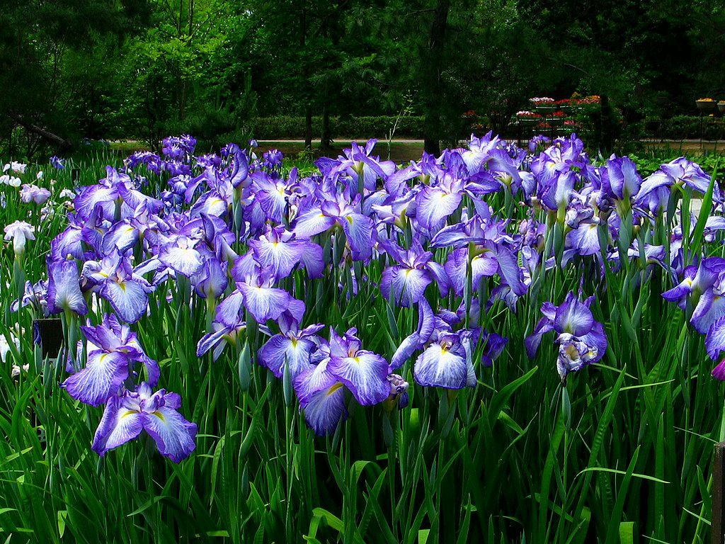 花菖蒲園・花菖蒲の壁紙・初夏の壁紙写真/初夏の花風景写真無料写真素材