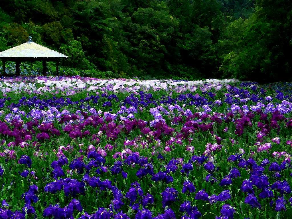 花ショウブ園・花ショウブ/初夏の壁紙写真/初夏の花風景写真無料写真素材