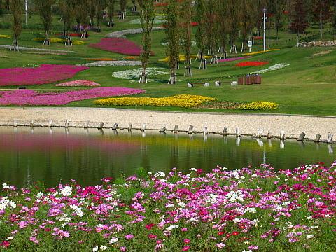 明石海峡公園・コスモスの花