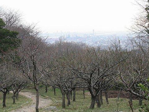 保久良神社の保久良梅林の梅はまだ蕾ばかり