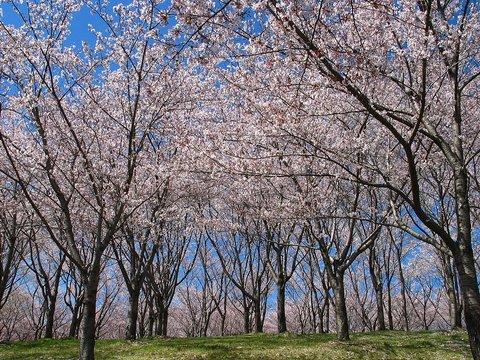 桜の壁紙写真/写真素材