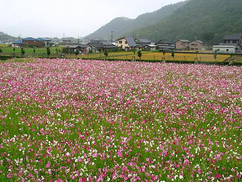 相生市矢野町のコスモス畑・兵庫県