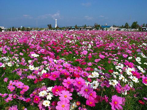ひまわりの丘公園・コスモス畑・コスモスの花