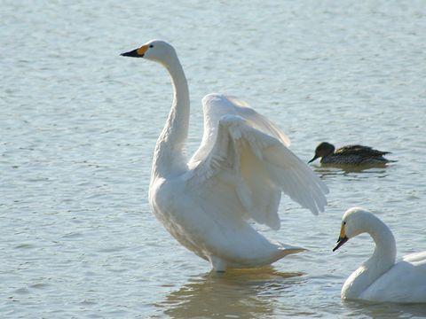 加西市の白鳥(コハクチョウ)