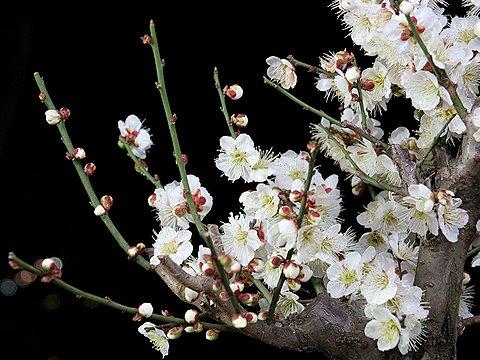 我が家の梅の盆栽では一足早く梅の花が満開です