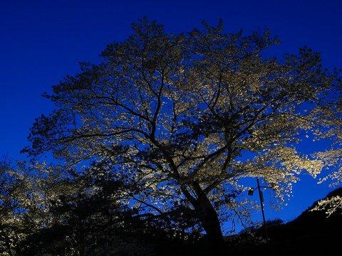 夜桜・桜のライトアップ壁紙写真/写真素材