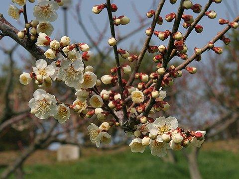 見土呂フルーツパークの梅の花/加古川