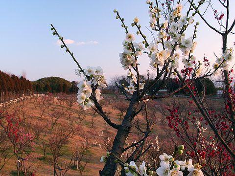 石ヶ谷公園の梅林と梅の花/明石市