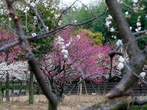 尼崎農業公園の梅園と梅の花/尼崎市
