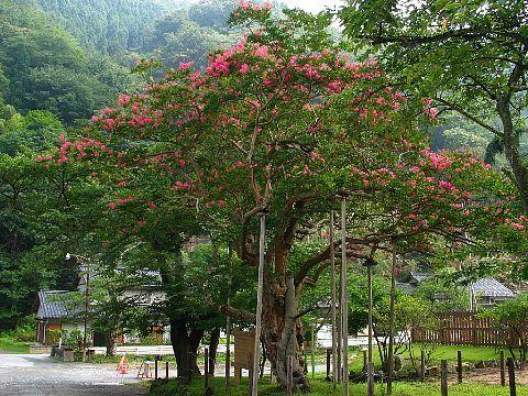 ムーセ旧居の百日紅(サルスベリ)の花