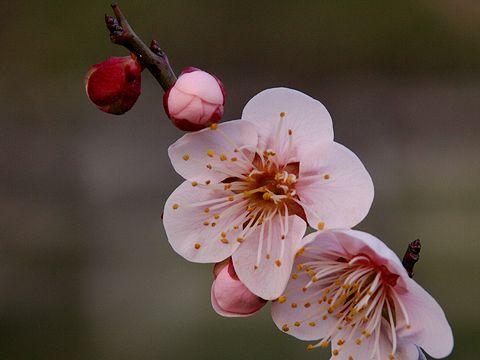 石ヶ谷公園の梅の花・白梅/明石市