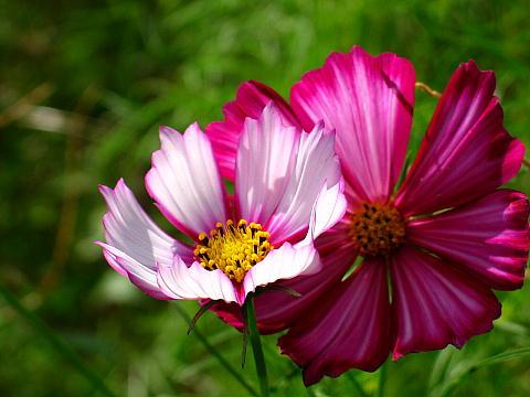 兵庫県丹波市氷上町の清住コスモス畑とコスモスの花