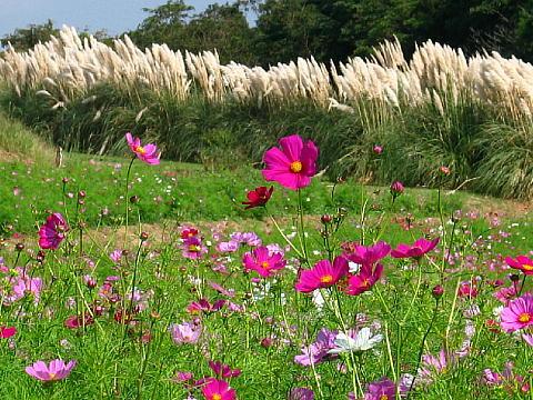 あわじ花さじきのコスモスの花・淡路島のコスモス畑