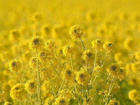 たつの市御津町の菜の花畑・満開の菜の花・春の花の風景