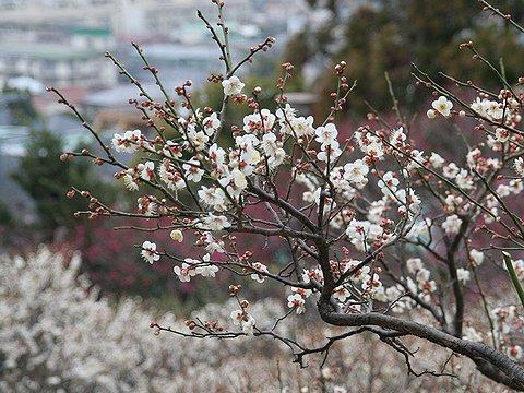 梅の花 / 岡本梅林公園