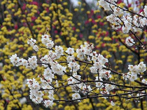 石ヶ谷公園の梅の花とサンシュユの花/明石市
