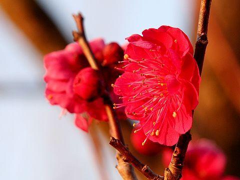石ヶ谷公園の梅の花・紅梅/明石市