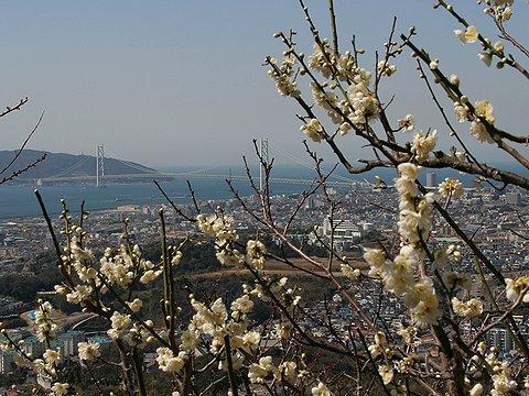 須磨山上遊園の梅林と明石海峡大橋