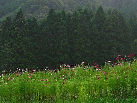 神崎農村公園・ヨーデルの森 コスモス畑のコスモスの花