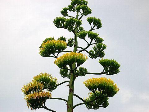 龍舌蘭の花