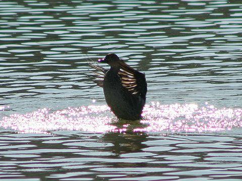 平荘湖の鴨(カモ)