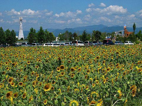 ひまわり畑とひまわりの丘公園・ひまわりの塔