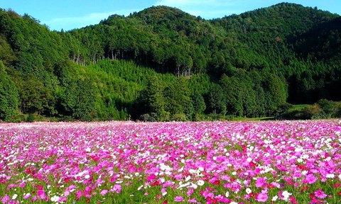 コスモスの花・WVGA(800×480)壁紙・携帯待受画像