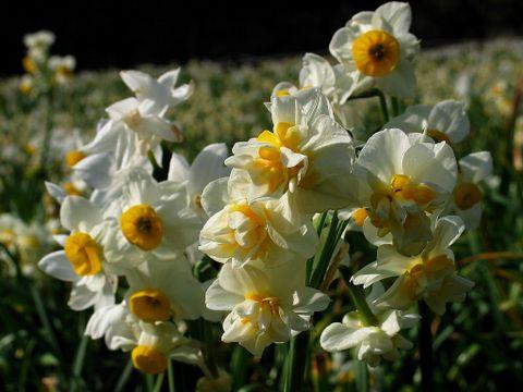水仙(スイセン)の花