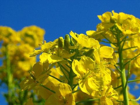 壁紙 菜の花