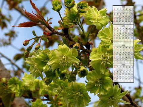 壁紙・桜の花/2007年無料壁紙カレンダー/2007年3月~2007年6月