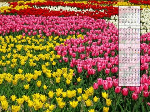 壁紙・チューリップ畑 チューリップの花/2007年無料壁紙カレンダー/2007年3月~2007年6月