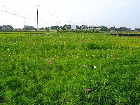 加古大池のコスモス畑・稲美町
