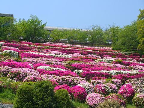 北野浄水場(北野配水場)のツツジ(躑躅)の花/神戸市中央区