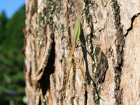 カマキリ/昆虫の写真