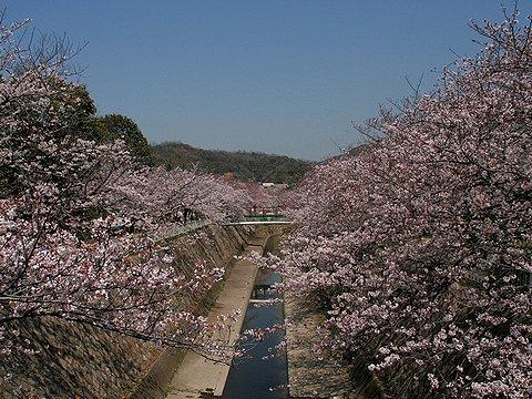 神戸の桜・妙法寺川の桜