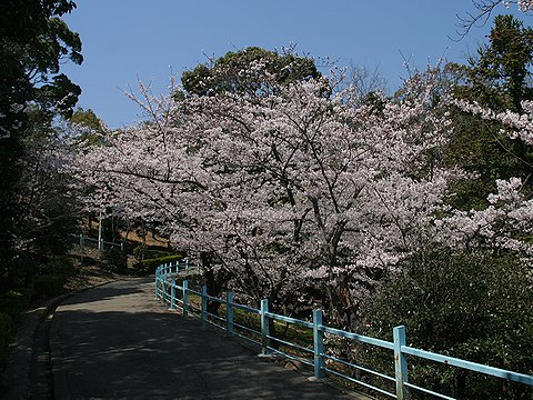 観音山公園の桜/神戸市の桜