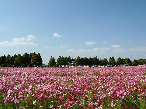 天満大池のコスモス畑/加古郡稲美町