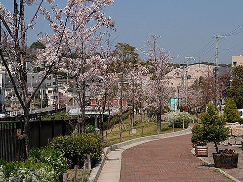 新湊川の桜/神戸市の桜
