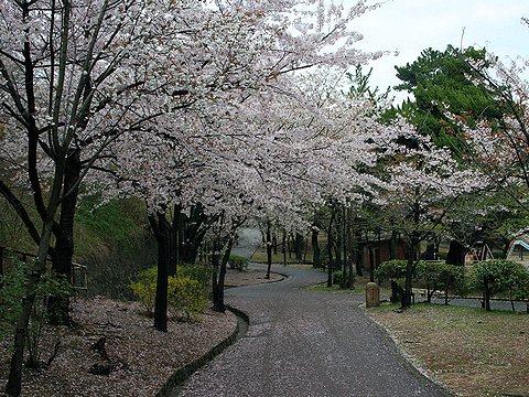 須磨浦公園の桜/神戸市の桜