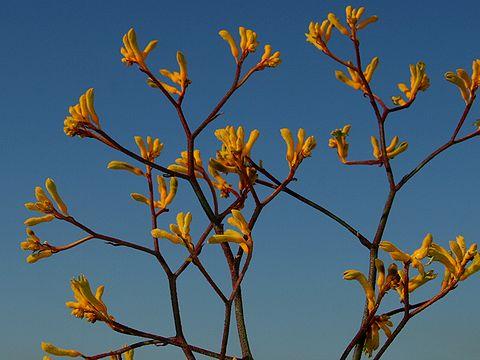 カンガルーポの花