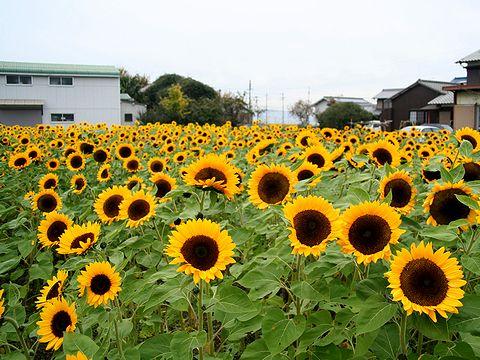 冬のひまわりの花・野村ひまわりの里/加古川市
