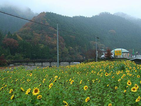 冬のひまわりの花・南光ひまわりの里/佐用町