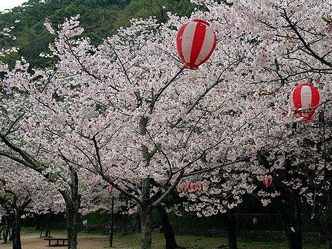須磨寺公園の桜/神戸市の桜